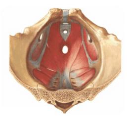 骨盤底筋群を上から見た図